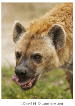 hyena and African Buffalo